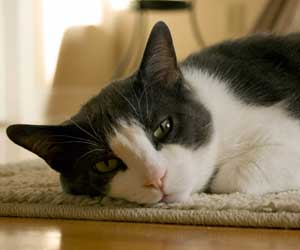 How to Clean Pet Hair from Carpet